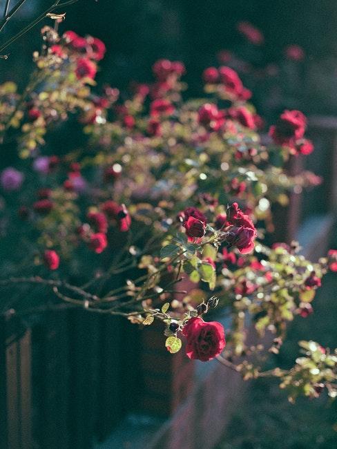 Rote Blumen am Gartenzaun