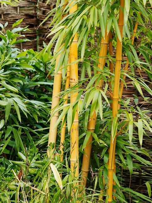 Bambuspflanze