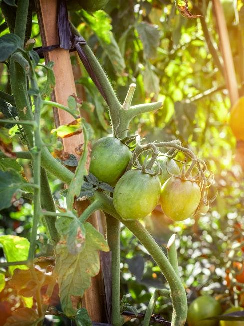 Grüne Tomaten an einer Pflanze im Freien