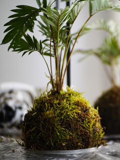 DIY Kokedama: frisch gepflanzte Kokedama-Pflanze im Moosball