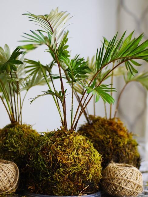 DIY Kokedama: Grünpflanze im Moosball mit Schnur daneben