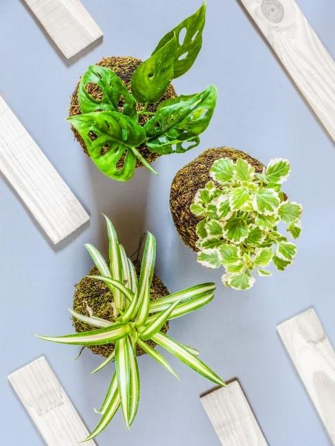 verschiedene Grünpflanzen als Kokedamas