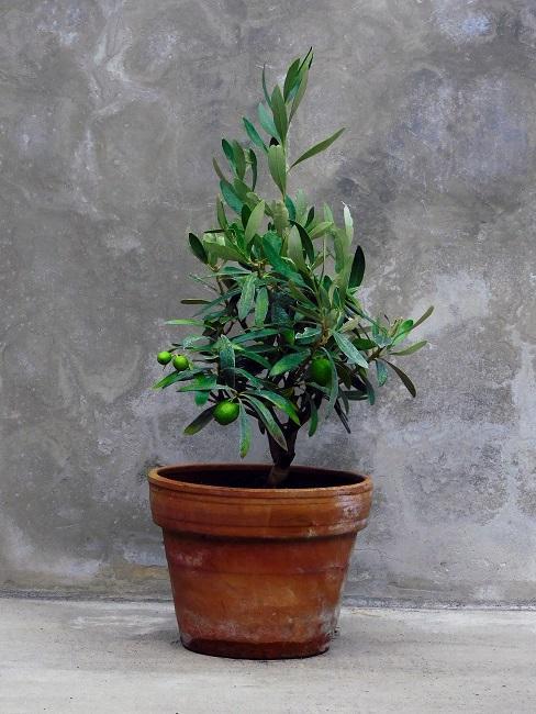 Terrassen Pflanzen Olivenbaum