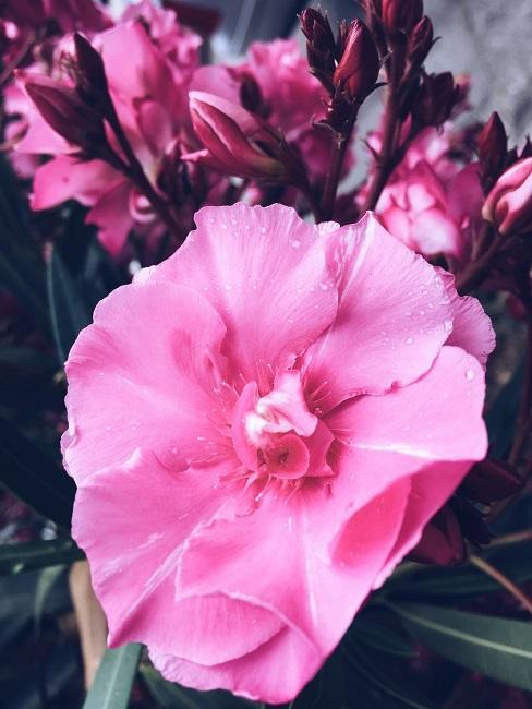 Terrassen Pflanzen Oleander