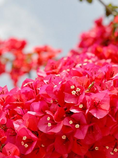 Terrassen Pflanzen Bougainvillea