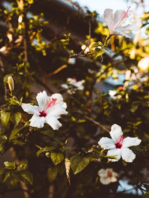 Terrassen Pflanzen Hibiskus