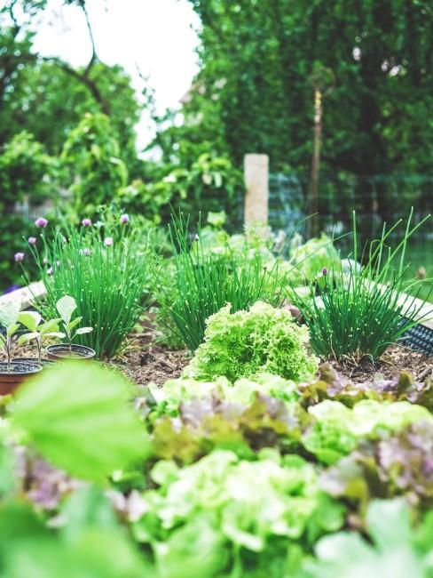 Gemüsebeete mit Salat und Kräutern