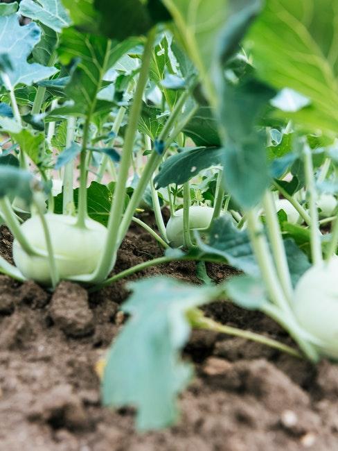 Kohlrabi wächst im Gemüsebeet