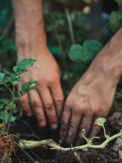 Gemüsesorten pflanzen