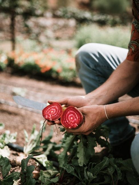 Ernte von eigenem Gemüse
