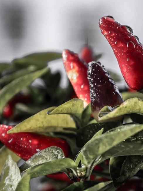 Chilis wachsen im Gemüsebeet