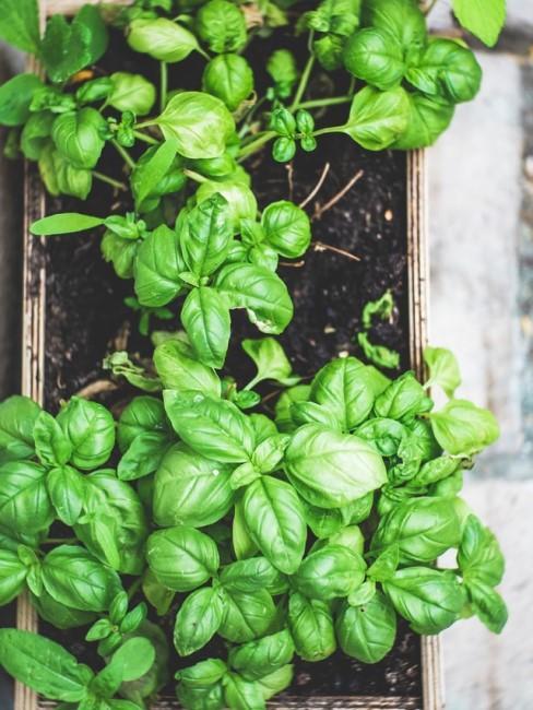 Kräuter anbauen an der Pflanzenwand