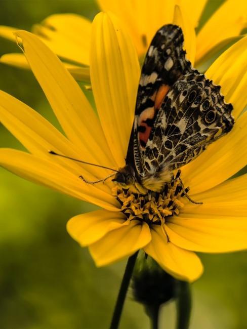 gelbe Blume mit Schmetterling