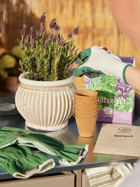 Lavendel in Blumentopf eingepflanzt