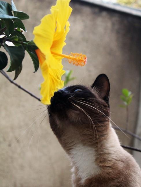 gelber Hibiskus mit Katze