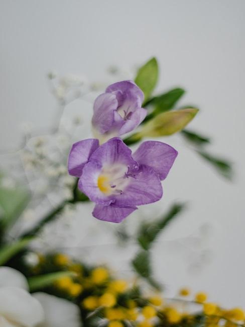 Freesienblüte Violett