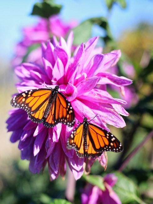 Lila Blume mit zwei Schmetterlingen