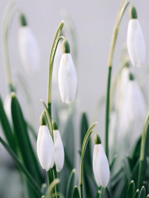Gartenkalender frühblühende Blumen