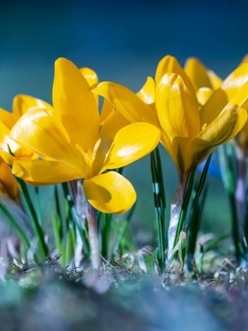 gelbe Krokusse auf Wiese