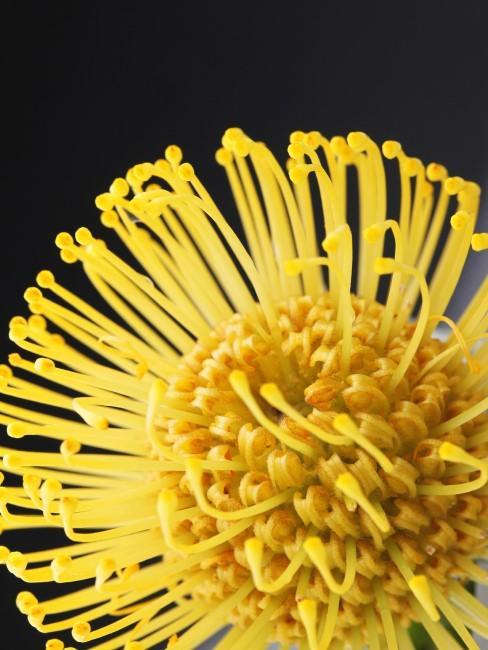 gelbe Nadelkissen Protea Nahaufnahme