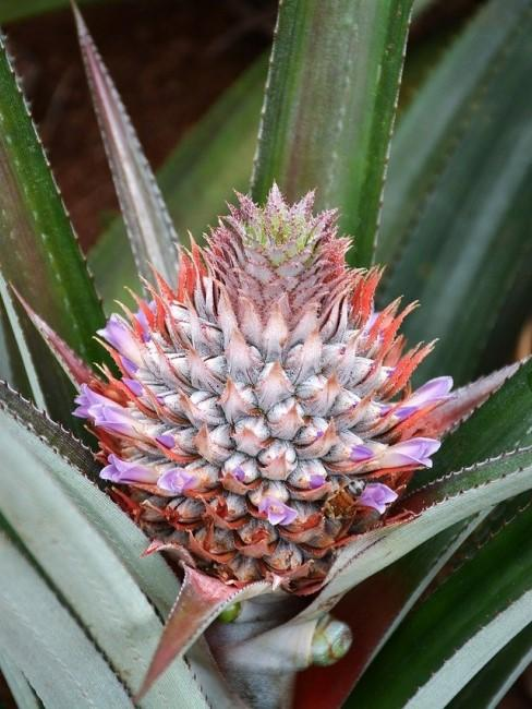 Ananas Pflanze mit Blüte