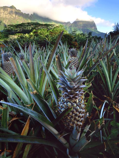 Ananas-Pflanzen auf dem Feld