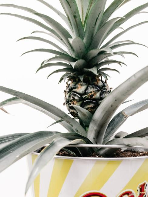 Ananas-Pflanze im Topf