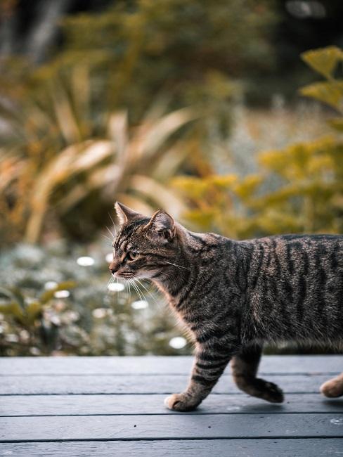 Katze die über einen Holzboden läuft