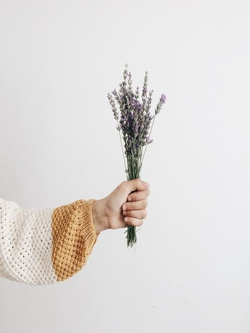 Lavender bouquet in hand against white background