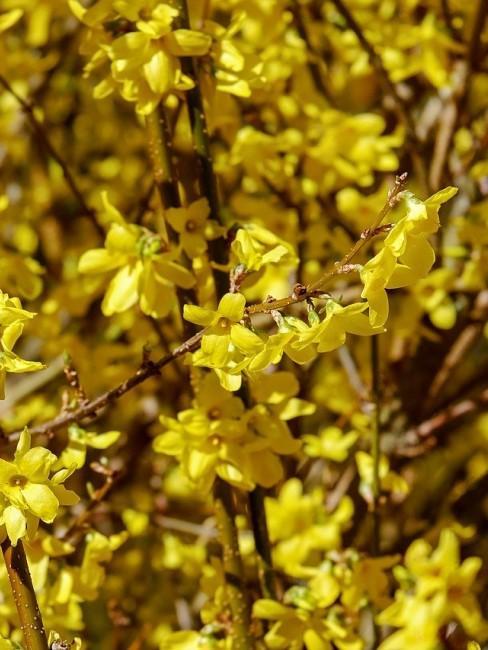 Forsythie blüht in Gelb