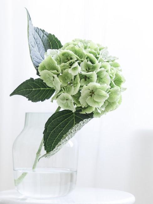 grüne Hortensie in Glasvase