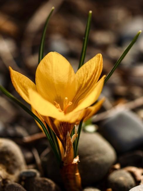 Krokus in karger Natur für Blumen Sprüche
