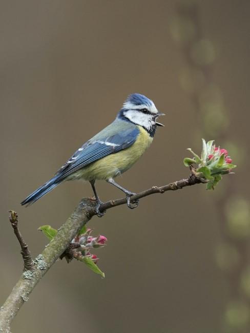 Blaumeise auf Zweig mit ersten Blüten