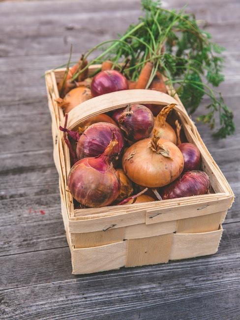 Zwiebeln ernten im Garten