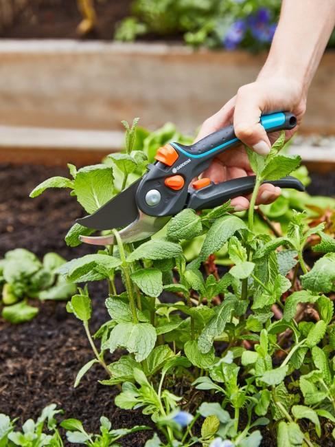 Kräuter ernten im Gemüsebeet