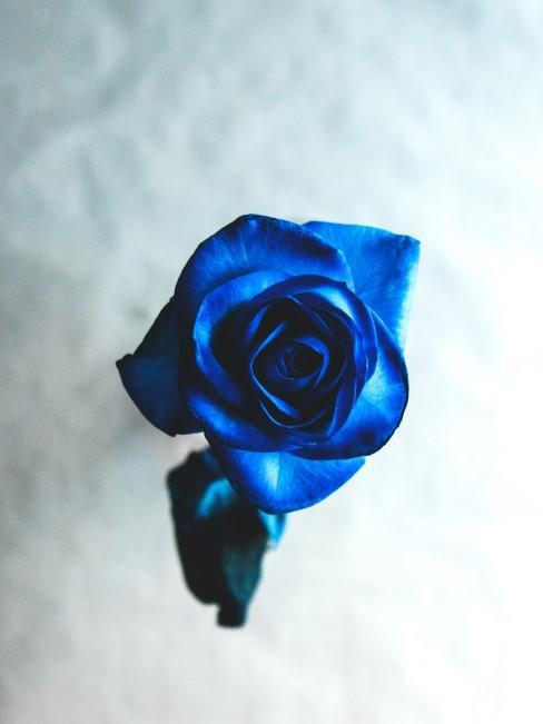 blaue Rose gefärbt