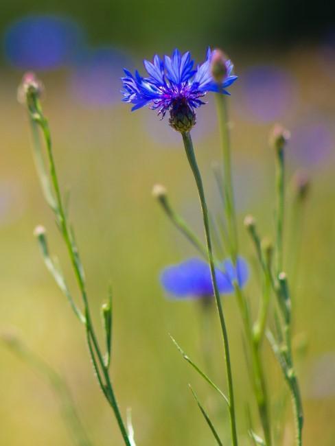 Kornblume in Blau auf einem Feld
