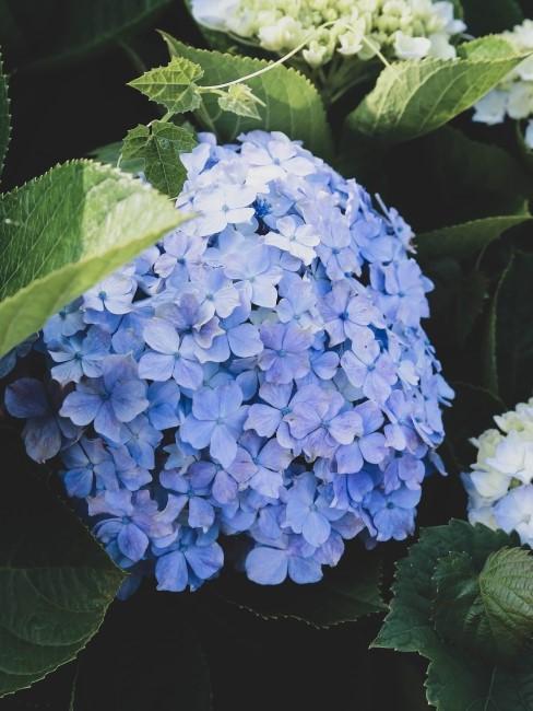 blaue Hortensie im Garten
