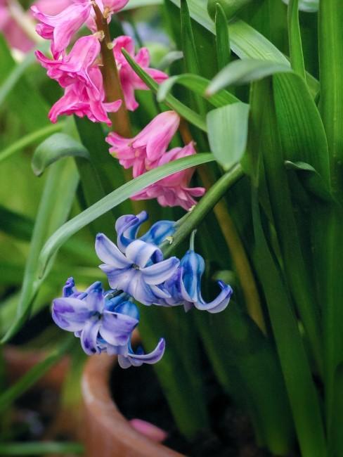 Blaue Hyazinthen
