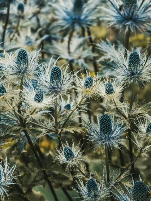 Feld mit blauen Disteln