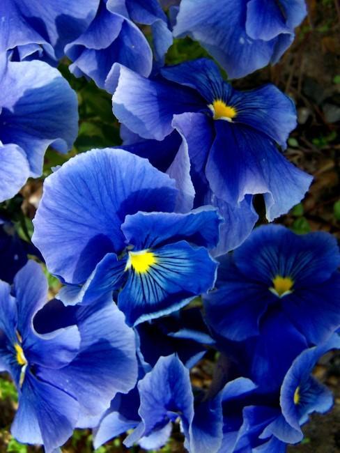 Nahaufnahme von blauen Stiefmütterchen