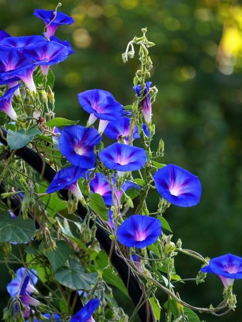 Blaue Prunkweide
