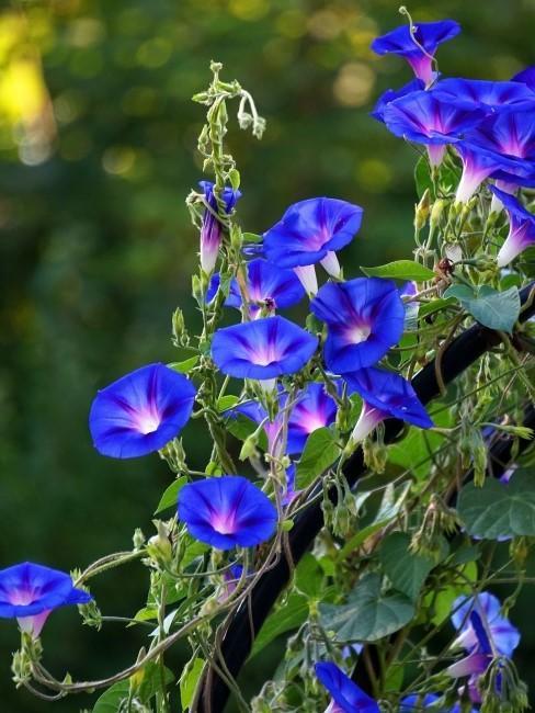 Blaue Prunkwinden im Freien