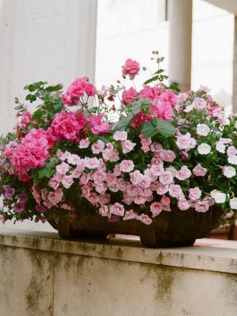 Rosa und pinke Balkonblumen
