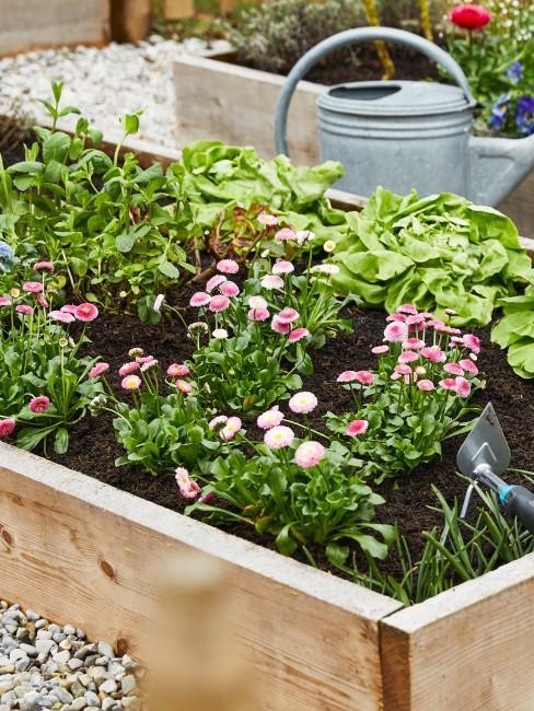 rosa Gänseblümen im Beet mit Salat und Kräutern