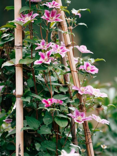 Rosa Kletterpflanze im Garten