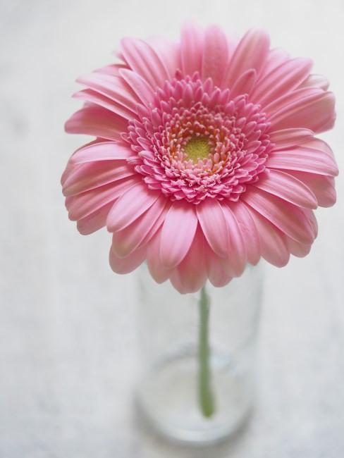 rosa Gerbera in Glasvase