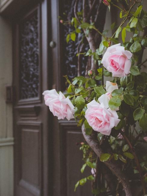 Rosa Rosen an der Hauswand