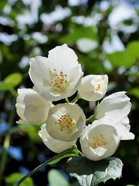 Jasminpflanze mit weißen Blüten