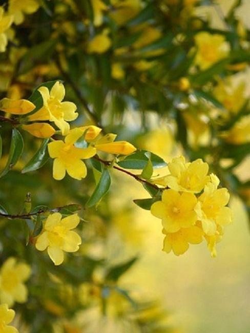 Jasminpflanze mit gelben Blüten